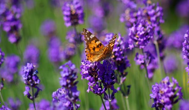 Lavendel bloeitijd