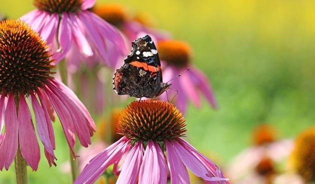 Vlinders in de tuin tuinseizoen for Vliegen in de tuin