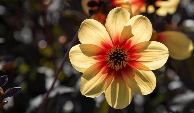 Dahlia's stekken, tuinklusjes in mei, tuinseizoen