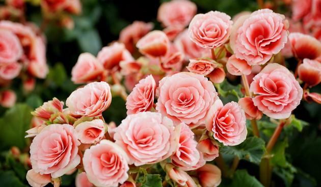 knolbegonia roze